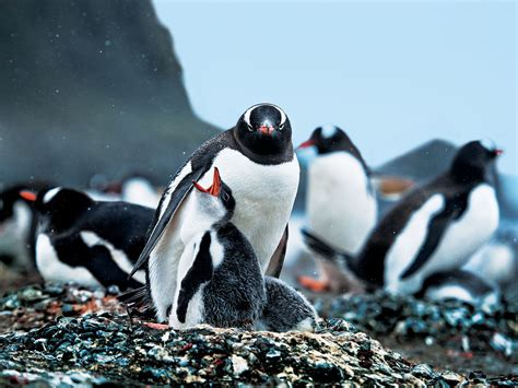 Traveller Pinguin how to see the world in a lifetime antarctica nat geo traveller india