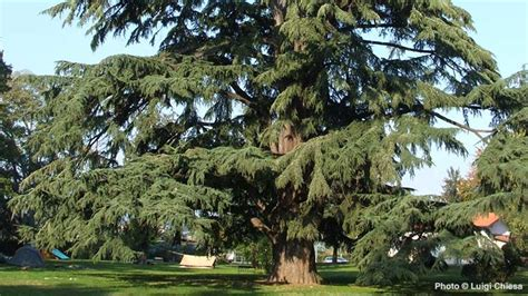 sterling forest trees deodar cedar himalayan arbor day