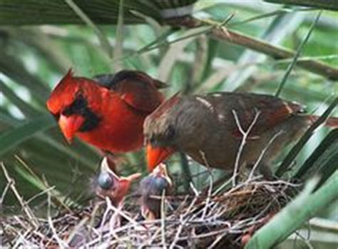 1000 images about cardinal photos on pinterest