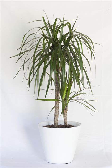 plantas interior 20 plantas de interior resistentes aptas para negados