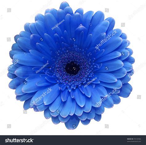 wallpaper blue flowers white background blue gerbera flower isolated on white stock photo 70143766
