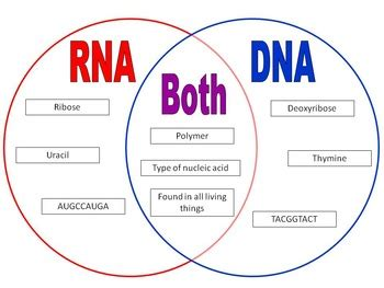 venn diagram comparing dna and rna dna rna venn diagram 28 images dna vs rna worksheet