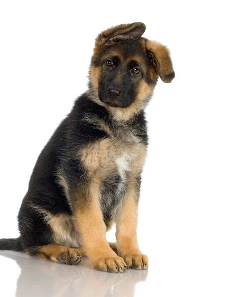 How to Predict the Adult Size of a Puppy Weighing 10 ...