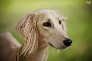 Dog Saluki Dog Hereditary Health And Average Longevity