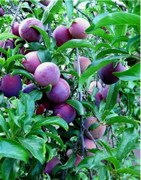 temperate climate permaculture permaculture plants plums