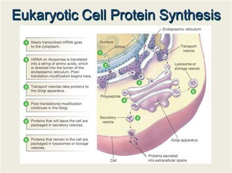 where in a eukaryotic cell does translation occur transcription and translation ppt