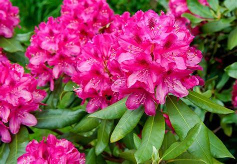 fiori di rododendro il rododendro rhododendron piante da giardino il