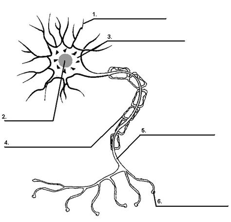 anatomy and physiology coloring workbook chapter 7 spinal cord chapter 3 direction of information flow dendrytes cell