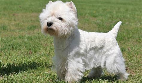 westie breed breed information about the west highland white terrier