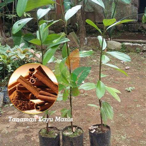 Benih Stevia bibit bunga benih daun stevia manis update daftar harga