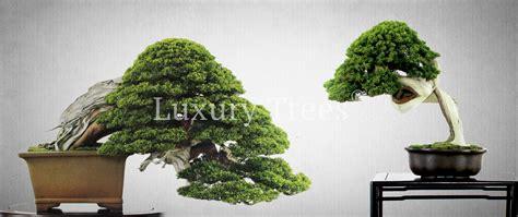 Teuerster Bonsai Der Welt 5077 by Die Teuersten Bonsai Der Welt 187 Luxurytrees 174 214 Sterreich