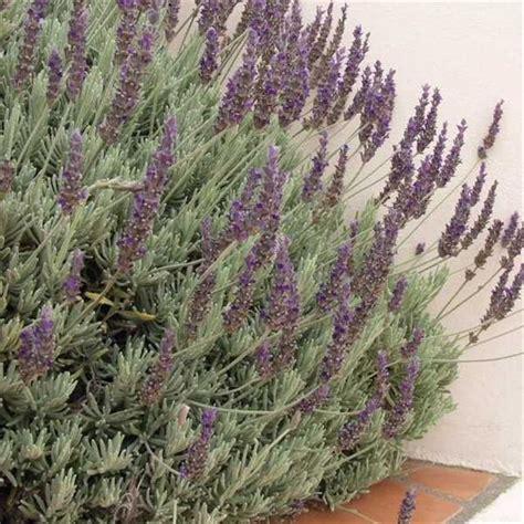 Lavender Creek lavandula dentata goodwin creek gray plant palette cbell cour