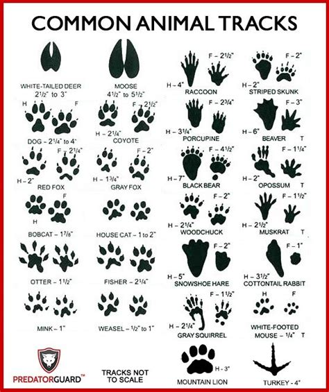 printable animal tracks identification how to identify signs of wild animals predatorguard com blog
