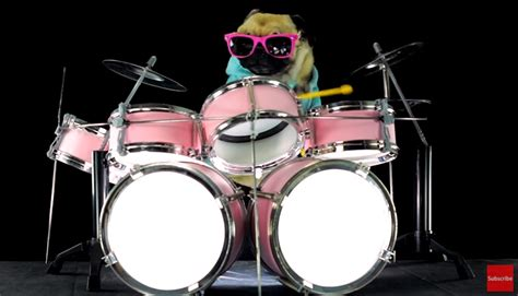 pugs and drummers pug performs a drum cover of the song enter sandman