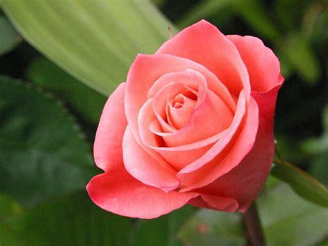 Computer Wallpaper Rose Hd | flowers for flower lovers rose hd desktop wallpapers