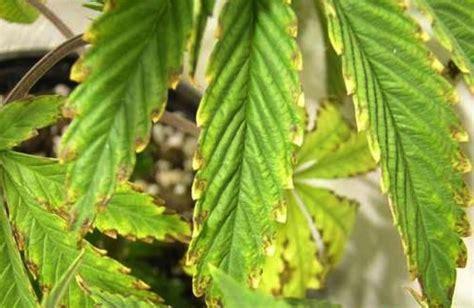 mängel in der wohnung einen mangel bei cannabis erkennen cannabistutorials de