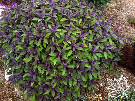 purple foliage plants purple leaf is an looking shrub but hardy