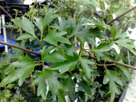 Climbing Evergreen Plants - clematis avalanche taylors clematis