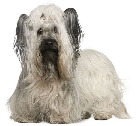 skye terrier summer groom skye terrier information facts pictures training and