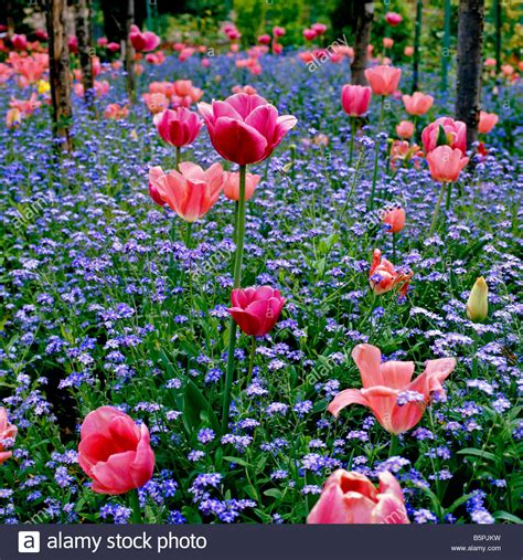 tulips  forget  nots  monets garden  giverny