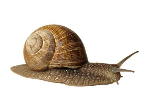 terrestrial snail pictures about animals image gallery landsnail