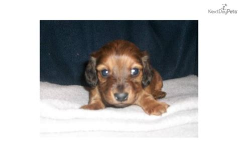 dachshund puppies for sale in des moines iowa dachshund mini puppy for sale near des moines iowa 79d1d085 0a21