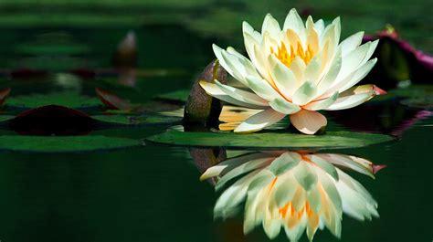 fiori loto 10 flores y su significado 1001 consejos