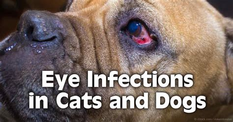 eye infections in dogs can cat allergies cause eye infections the best cat 2017