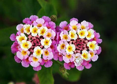 verbena shrub with white flowers lantana or shrub verbena it or it plant