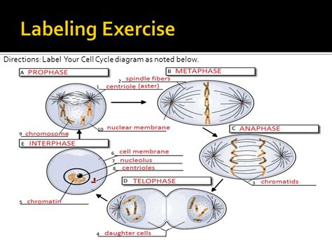 Cell Cycle Labeling Worksheet Answers by B 2 6 Summarize The Characteristics Of The Cell Cycle