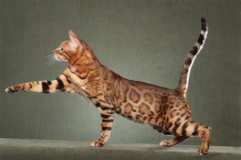 Savannah Cat ? Purrfect Cat Breeds