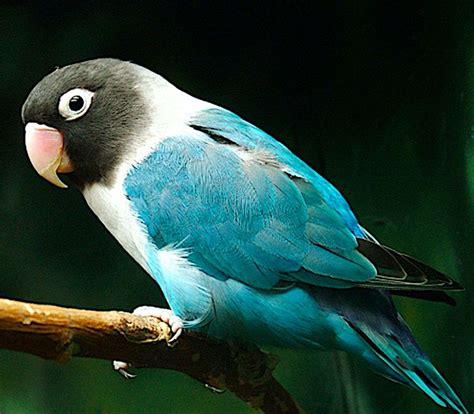 For Lovebird lovebirds blue masked