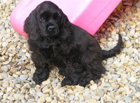 American Cocker Spaniel - Puppies, Rescue, Pictures ...