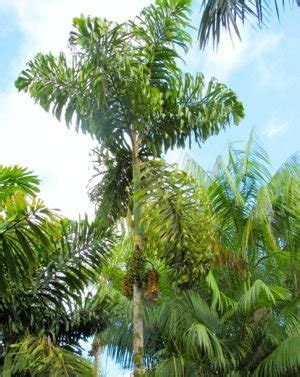encyclopedia of cultivated palms socratea