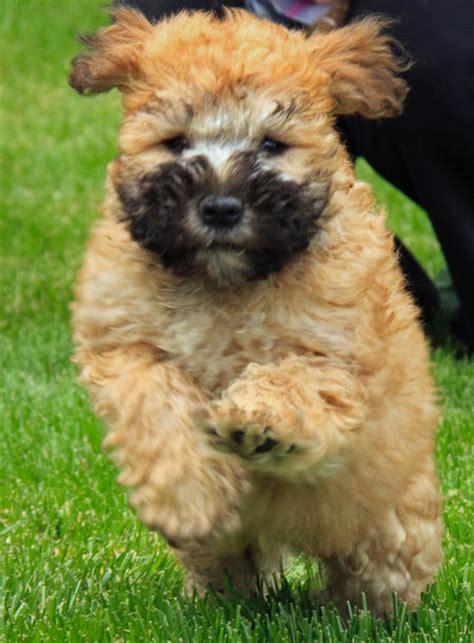 wheaten terrier mix puppies bradley the wheaten terrier mix puppies daily puppy