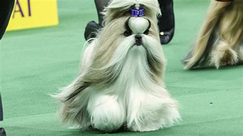 best in show shih tzu patty hearst s shih tzu wins category at westminster kennel club show ktla
