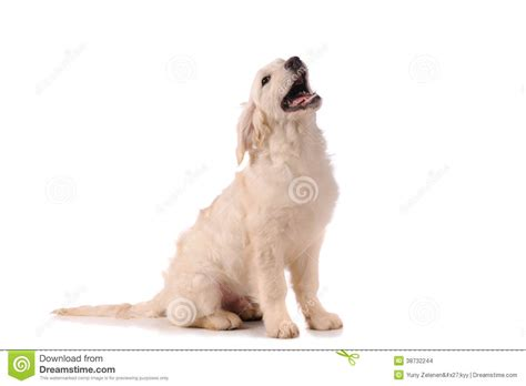 purebred golden retriever puppy purebred golden retriever stock images image 38732244
