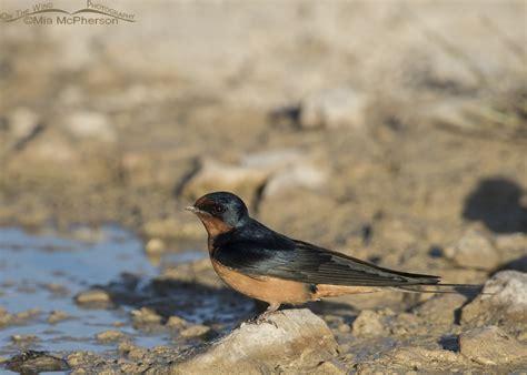 barn swallow nesting season has begun mia mcpherson s on