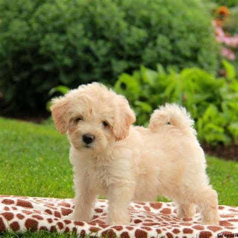 dogs for sale in ny miniature poodle puppies for sale in pa nj breeds picture