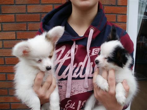 papillon puppies for sale in beautiful papillon puppies for sale wigan greater manchester pets4homes