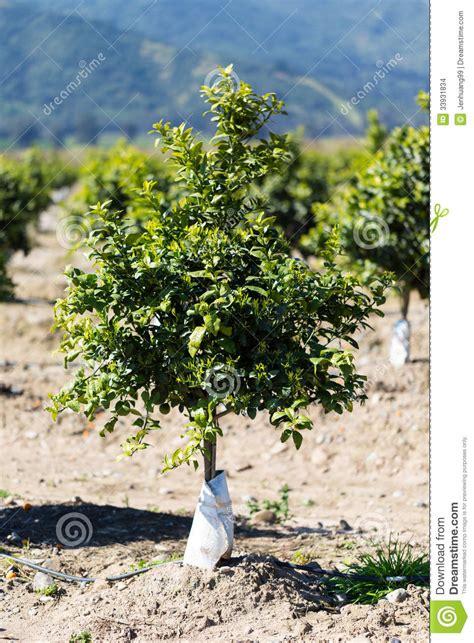 exles of fruit trees orange fruit tree orchard stock images image 33931834