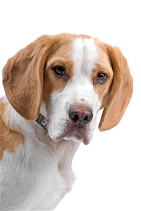 ear problems in dogs homeopathic remedies for ear problems in dogs dogs naturally magazine