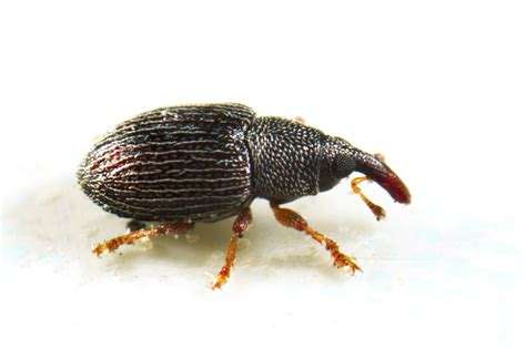 Name A Bug To Find In Their House Rice Weevil And Treatments For The Home And Kitchen
