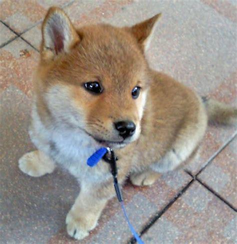 shiba inu puppy yuki the shiba inu puppies daily puppy
