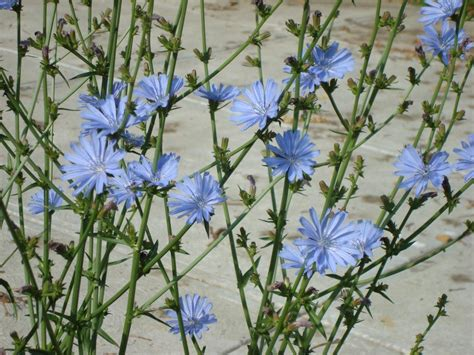 Chicory (Cichorium intybus)   Basic Eating: Food Defined, Not Refined.
