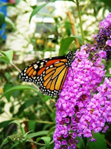 how to attract butterflies to your backyard tips on attracting butterflies to your garden