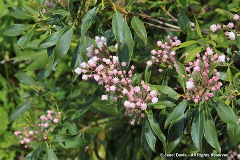 kalmia latifolia kalmia latifolia mountain laurel janet davis explores colour