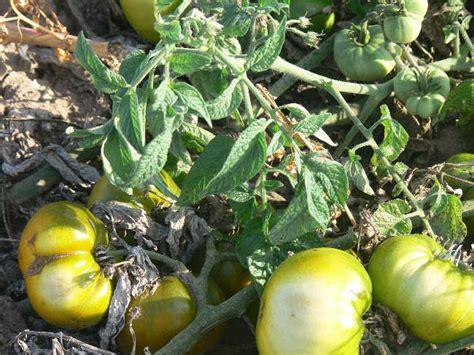 grub s mystery green rare beefsteak tomato seeds