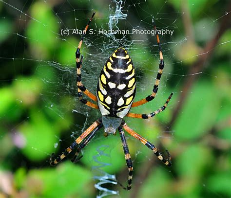 Black And Yellow Garden Spider by Black And Yellow Garden Spider At Oleta River State Park