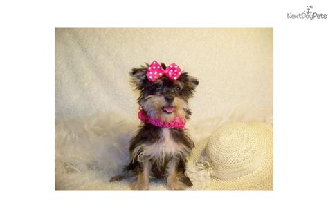 micro teacup yorkie poo puppies yorkiepoo yorkie poo puppy for sale near st louis missouri ade65576 33a1